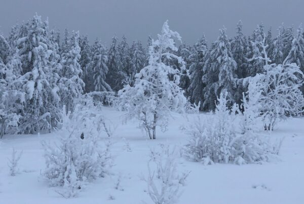 Trees covered in snow, grey sky