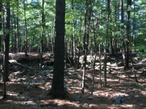 The forest floor covered in red pine needles